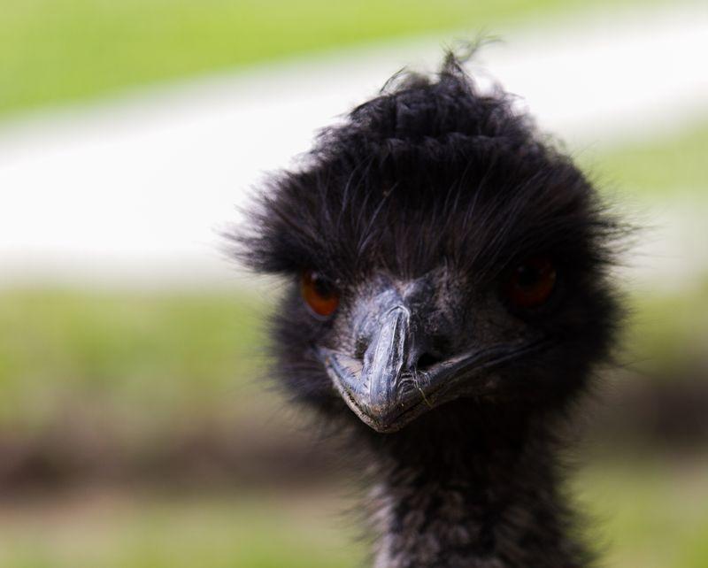Emu -4745