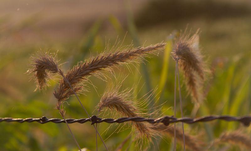 Wheat in July-8625