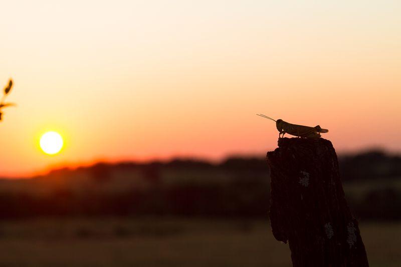 Grasshopper Sunset -8756-2