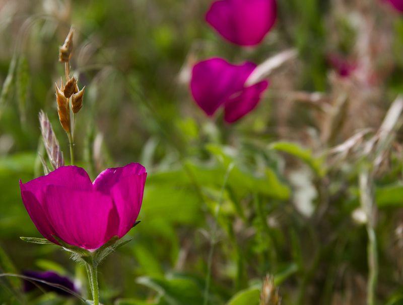 Purple wildflowers-3685