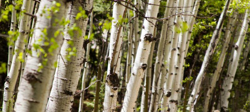 Aspen Trees-5430