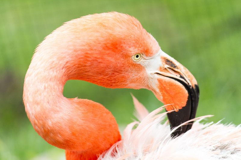 Flamingo-4609