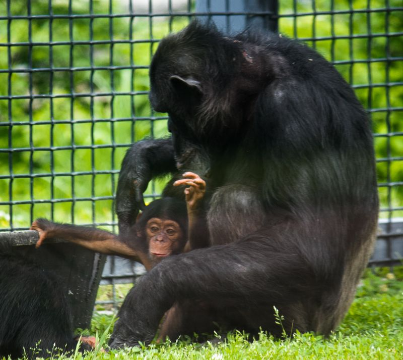 Chimpanzees at the Sunset Zoo in Manhattan Kansas-4788