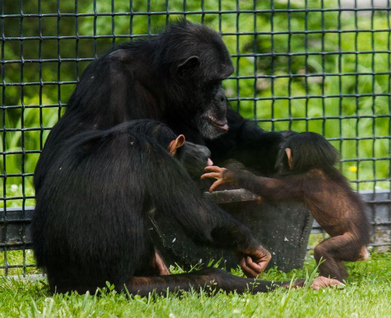 Chimpanzees at the Sunset Zoo in Manhattan Kansas-4790