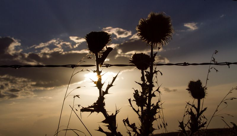 Thistles in the Sun -8575