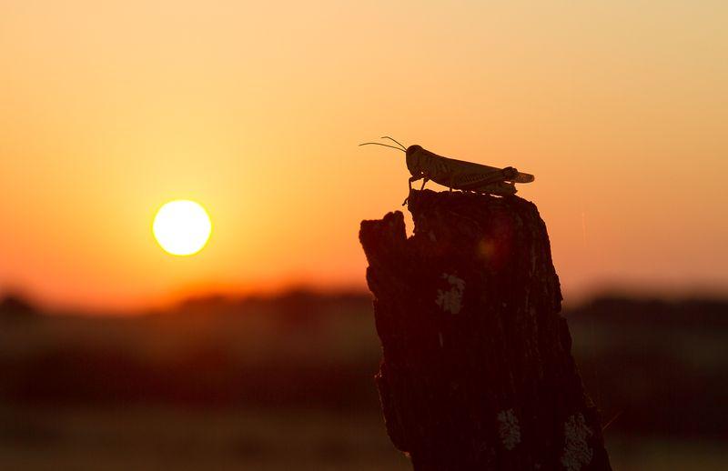 Grasshopper Sunset -8740