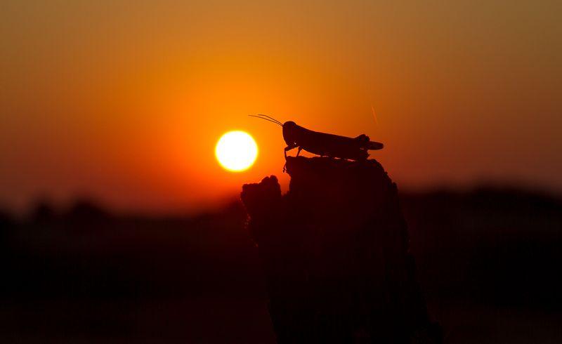 Grasshopper Sunset -8759