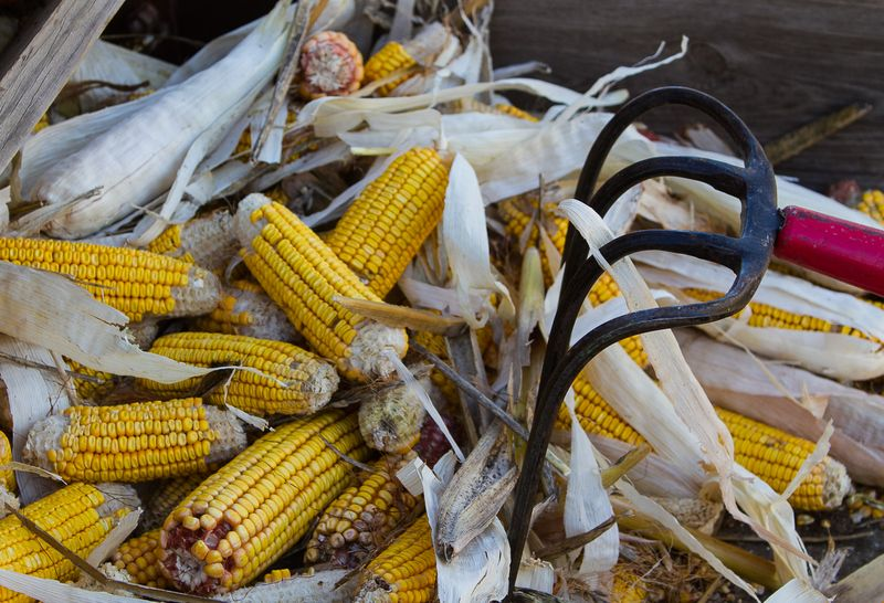 Corn in a Farm Demonstration at Sulphur Oklahoma-3627