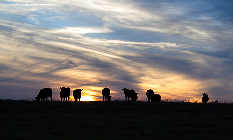 Cows in the Oklahoma Sunset-5715