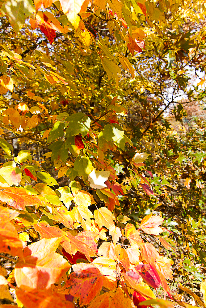 Oranges and yellows in the fall -5899