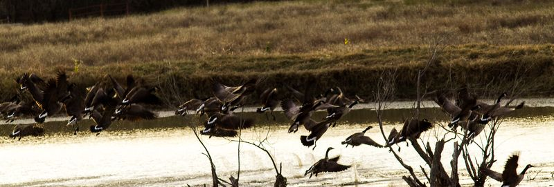 Geese In the Morning-6041