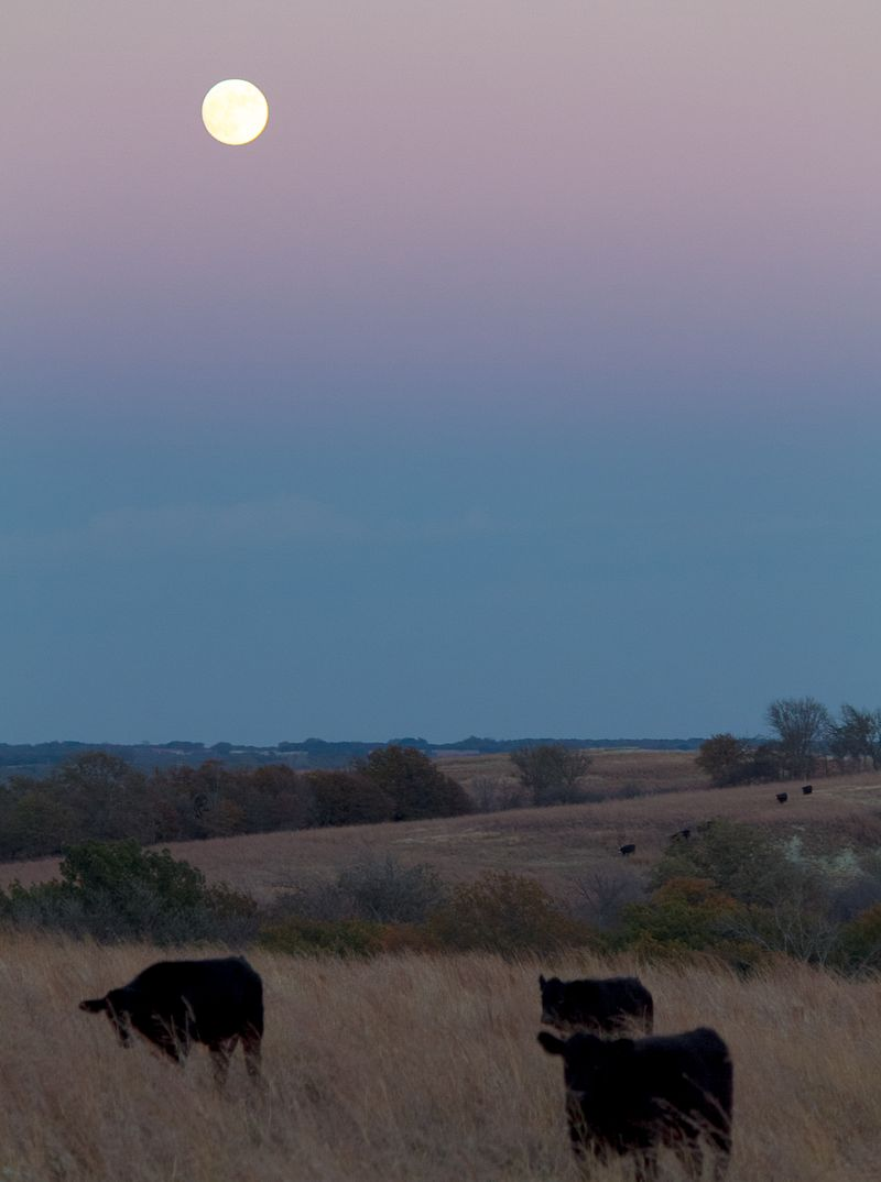 Cows in the Moon-6072