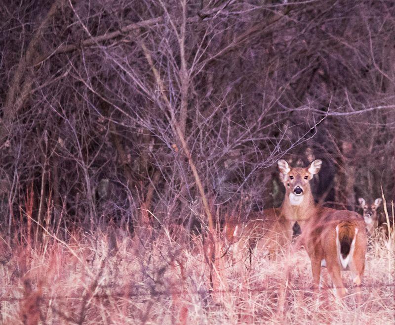 Morning Deer-8175