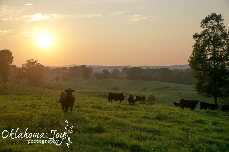 20140802-IMG_1255Cows in Arkansas_