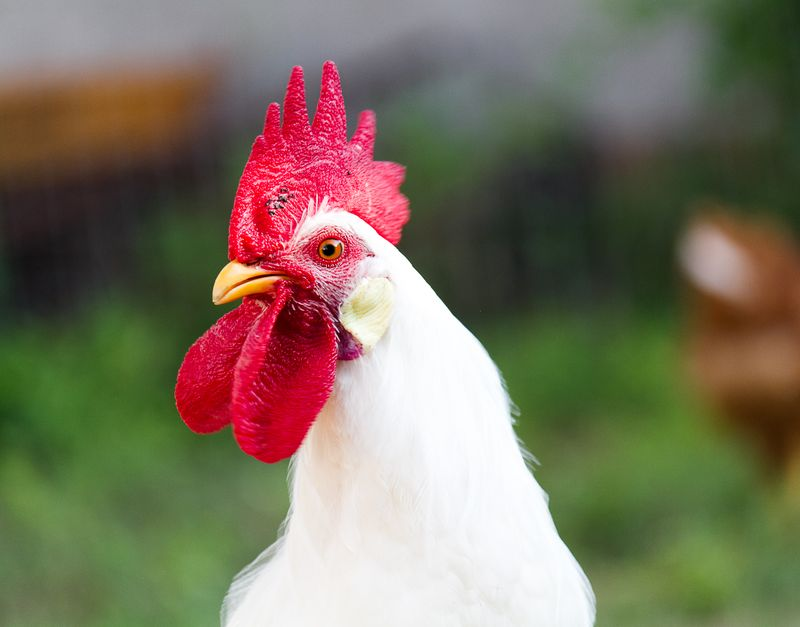 The Rooster -9125
