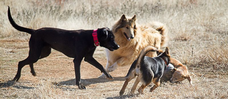 Dogs on a Walk-9140