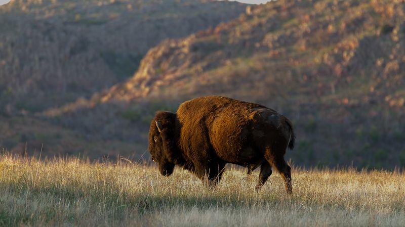 Buffalo In The Wichita Mountains-4392