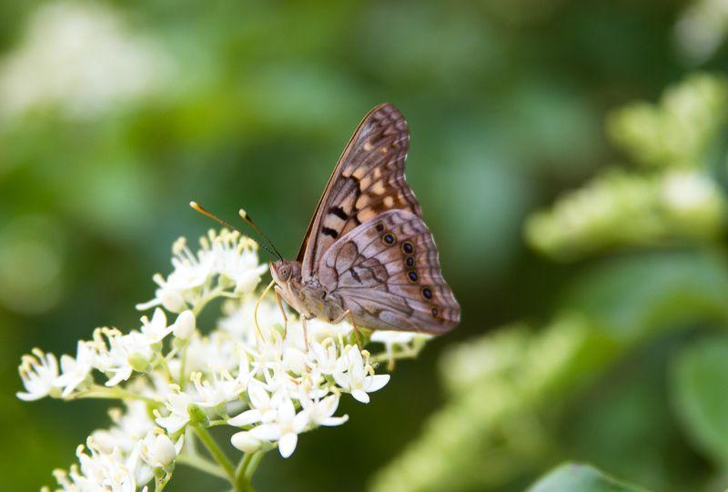 Butterflies -3662