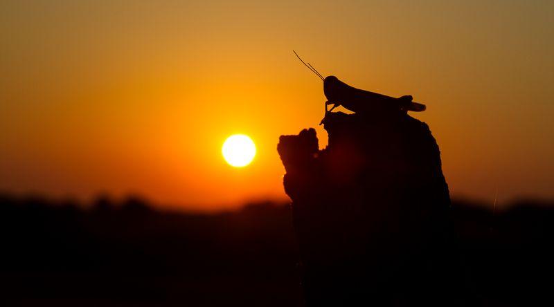 Wise Grasshopper-8722