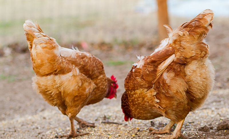 Little Red Hens-0236