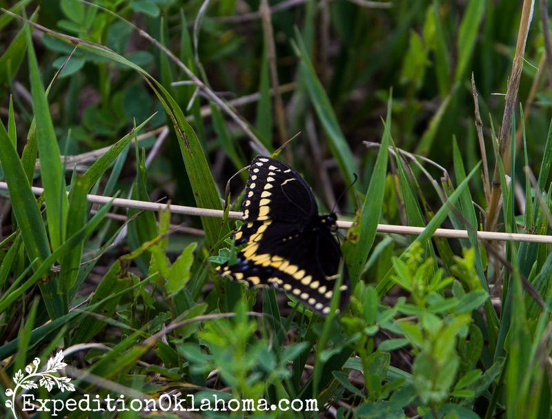 Spirit Mound Butterfly-9144