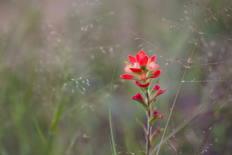 20140819-IMG_3840Indian Paintbrush in August