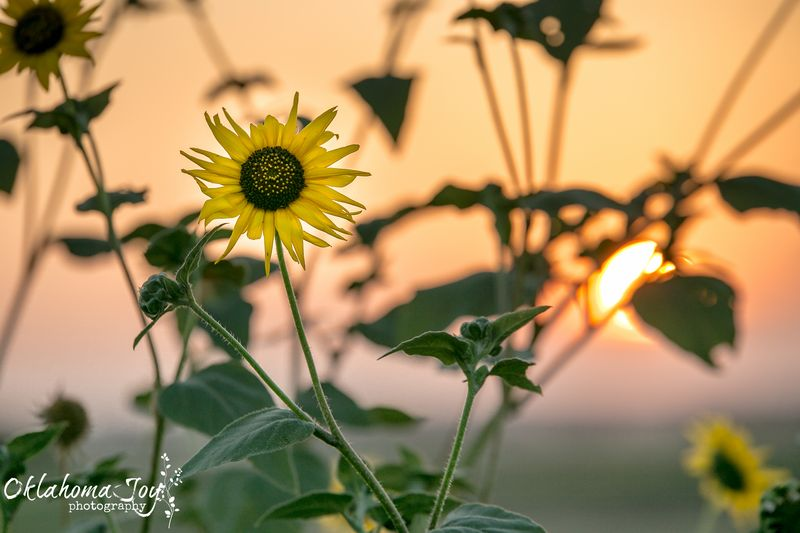 20140826-IMG_5139Sunflower sunset near Velma WM