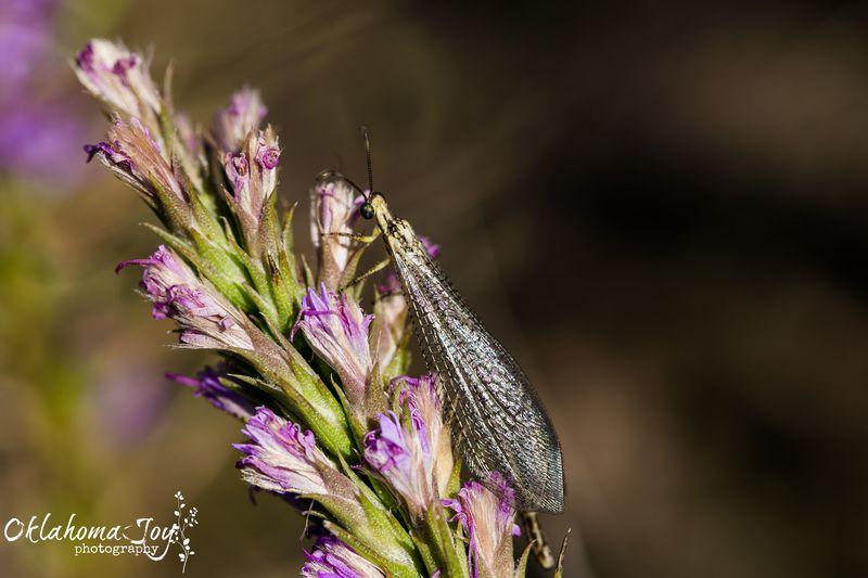20140829-IMG_5587Dragon Fly on Flower  WM