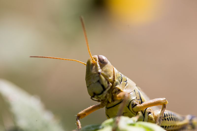 20140826-IMG_5015Young Grasshopper
