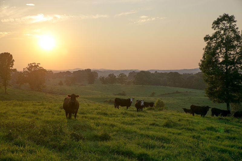 20140802-IMG_1255Cows in Arkansas_-2