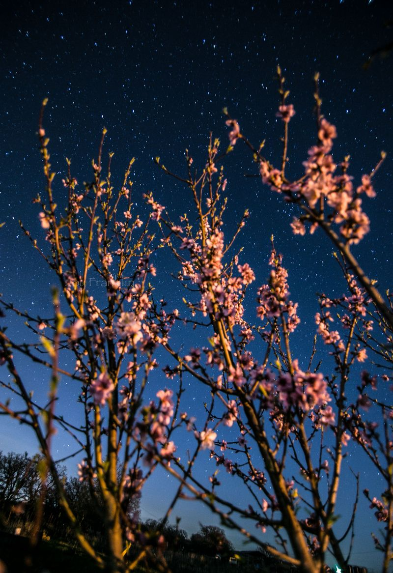 Spring blossoms at night March 24-8370