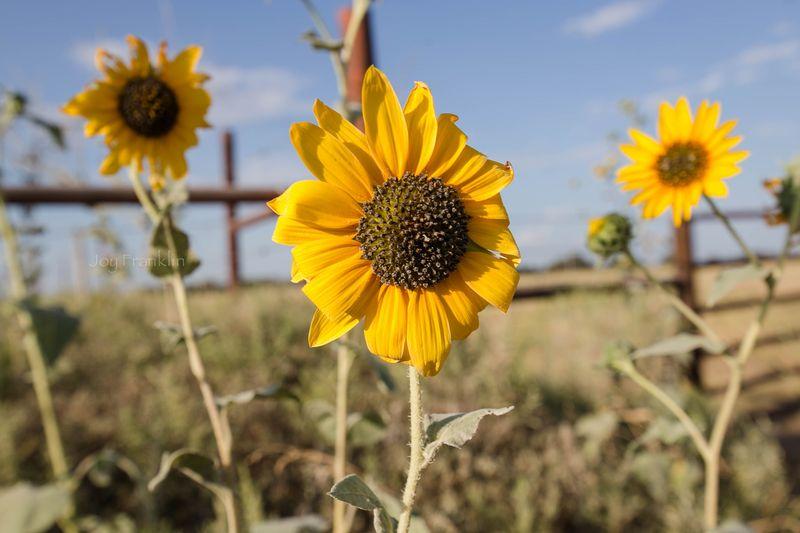 Sunflower -7303-2