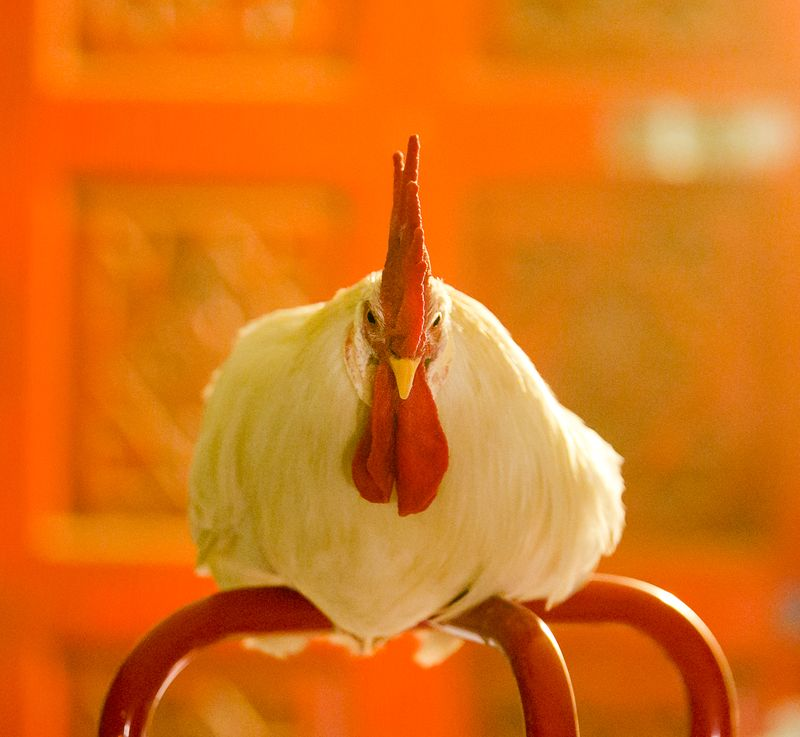 20140827-IMG_5381Rooster boy_