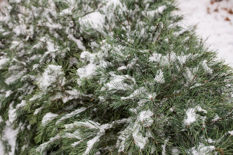 Christmas Tree Covered in snow-1