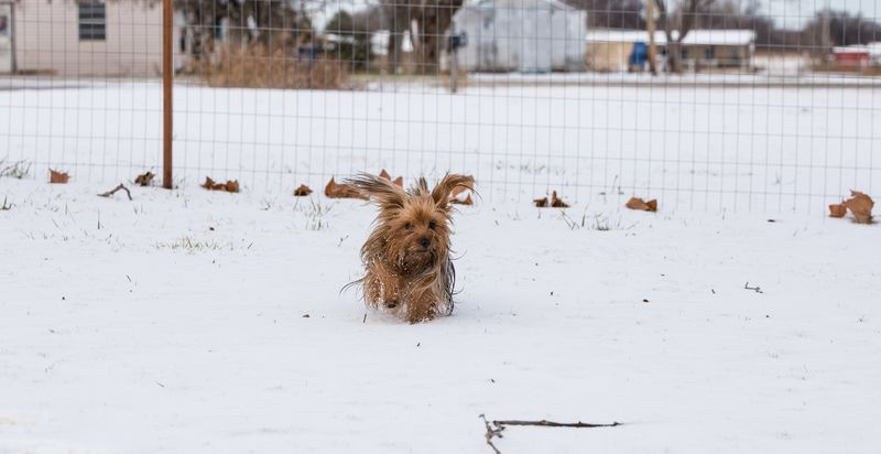 Yorkie in the snow -reedit-1