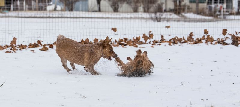 Dogs playing in the snow-1-4