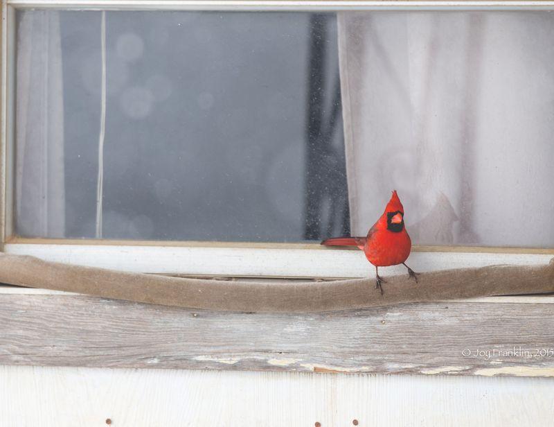 February 27 snow- Cardinal-5887