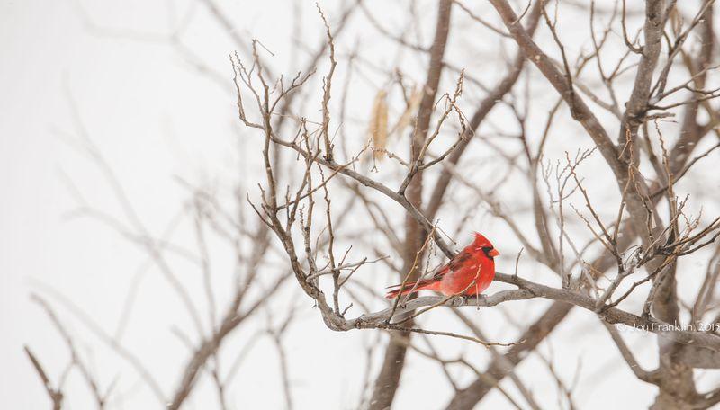 February 27 snow- Cardinal-5901