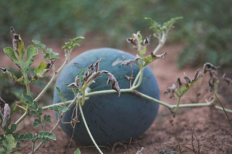 Watermelon -7261