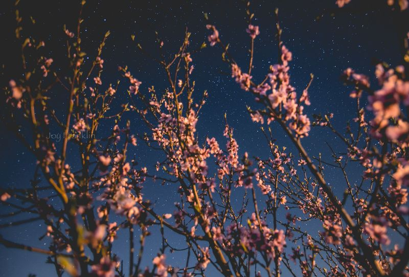 Spring Blossoms and the Stars-8373